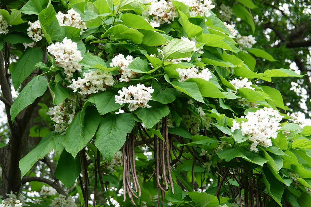 A tree with snowy flowers, big leaves and dangling seed pods. It's the northern catalpa.