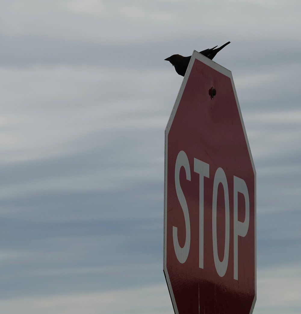 A cowbird comes to a complete stop.