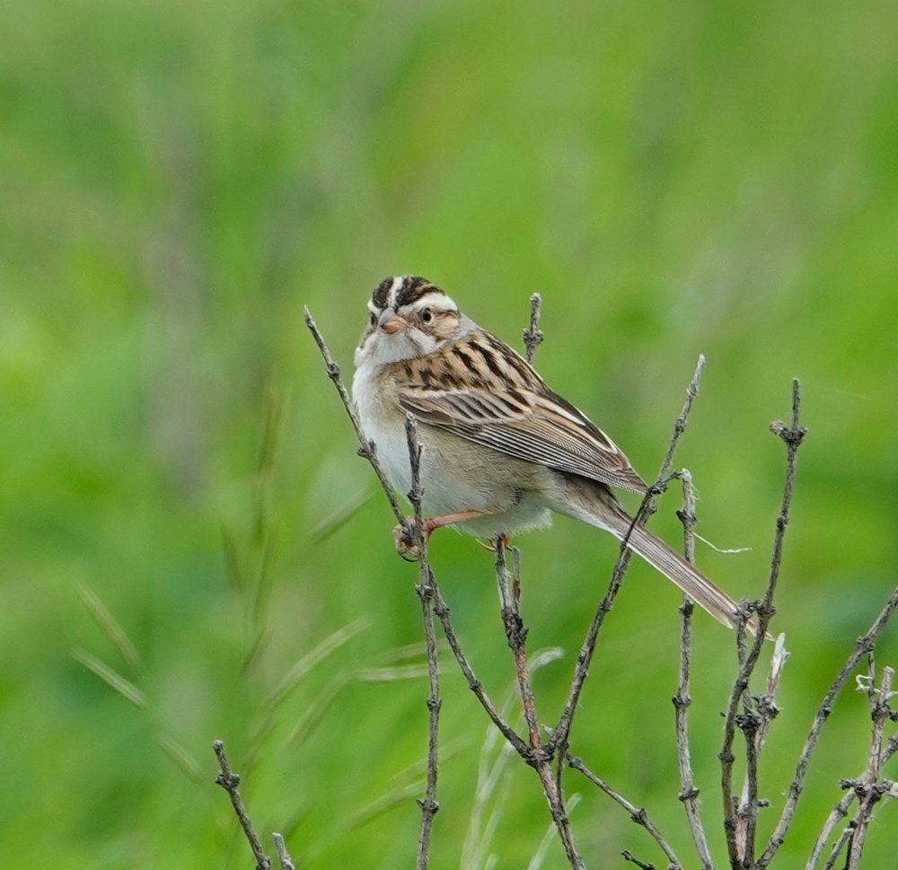 A clay-collared sparrow's song is an insect-like buzz.