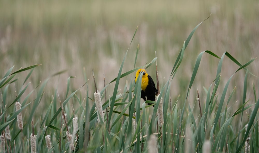 A yellow-headed blackbird attempting to hide.