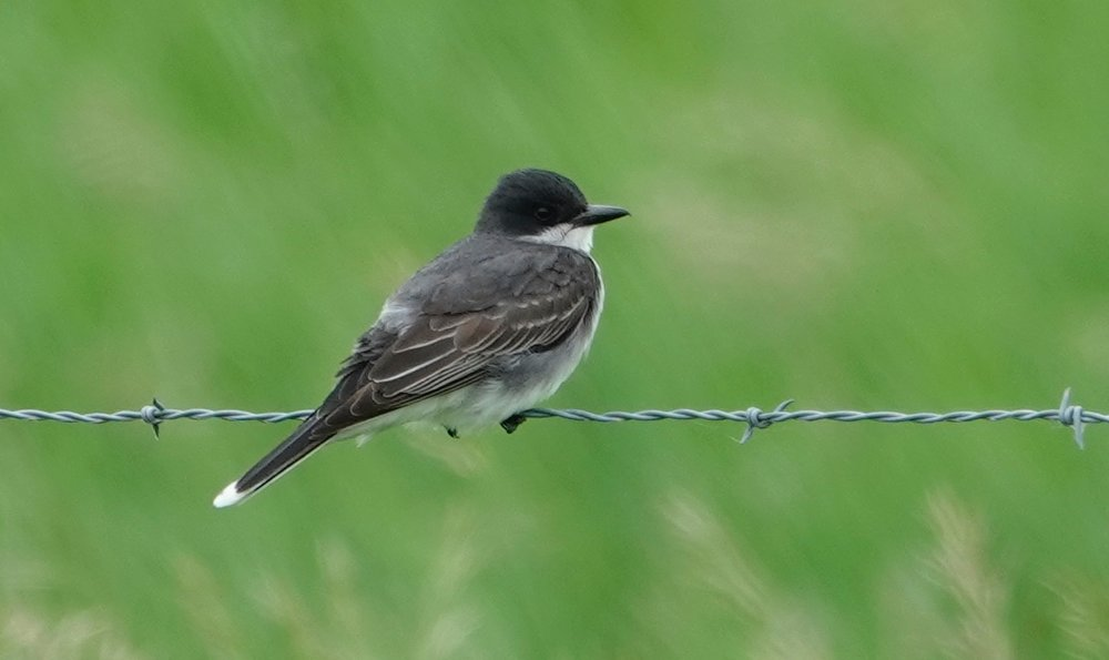 An eastern kingbird feels right at home on barbed wire.