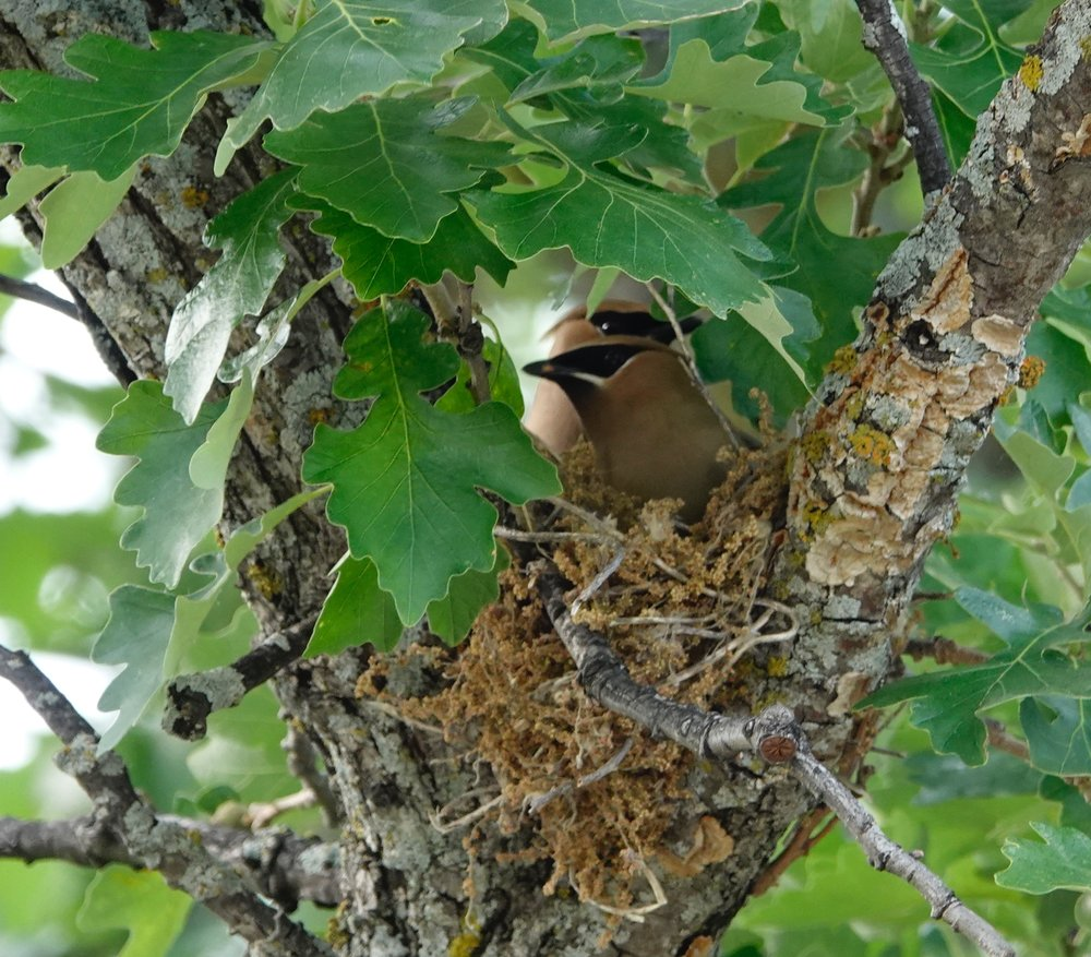 Cedar waxwings that became lovebirds.