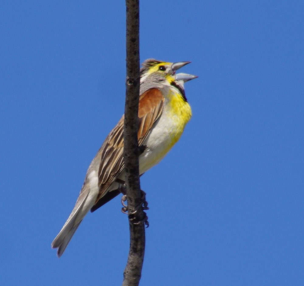 A dickcissel looking like a junior meadowlark.