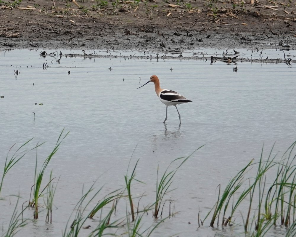 The American avocet will aggressively attack predators.