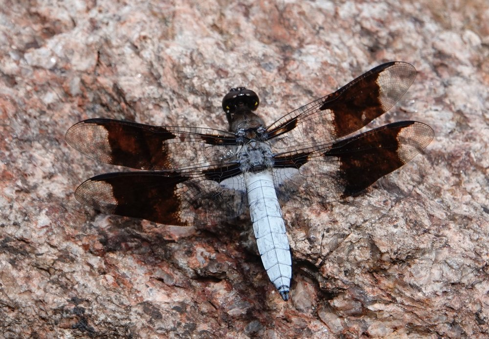 The common whitetail dragonfly likes to perch on the ground.