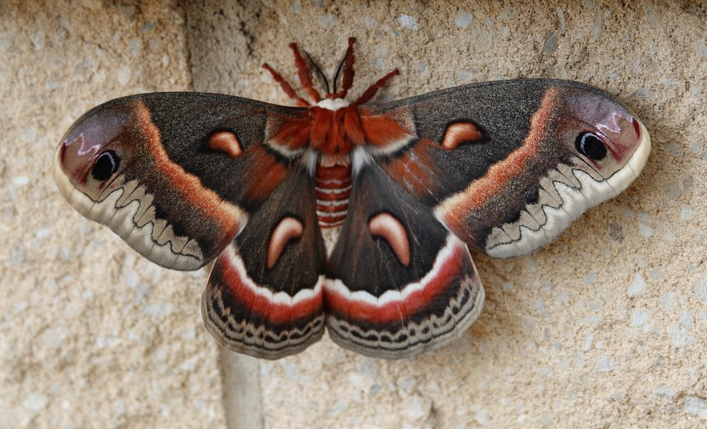 The cecropia is North America's largest moth and is sometimes called a robin moth.