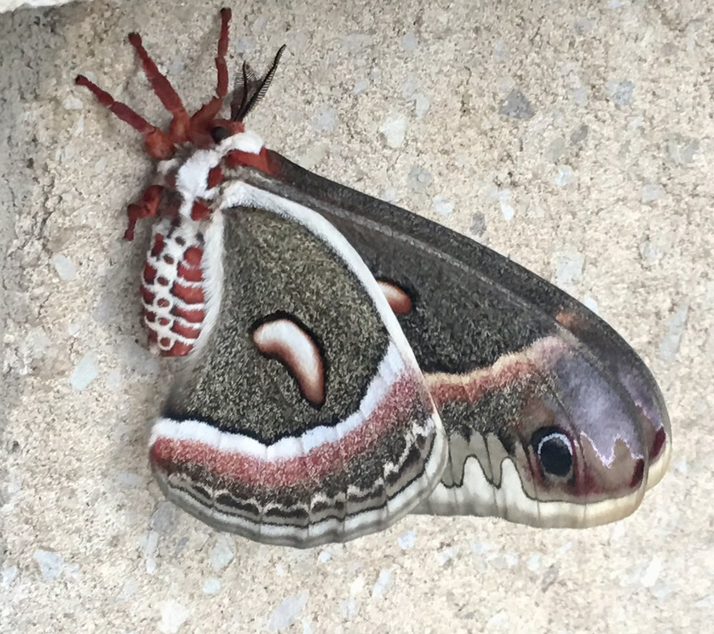 A cecropia moth at a sideways glance.