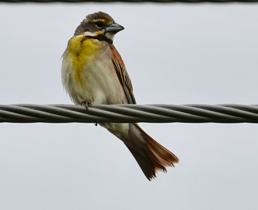 Every ear is different, but to me the dickcissel sings it's name.