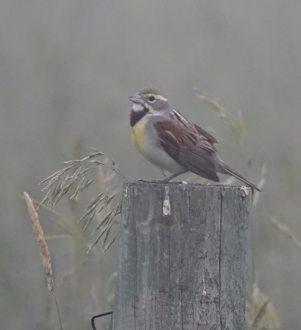 A dickcissel in a heavy fog.