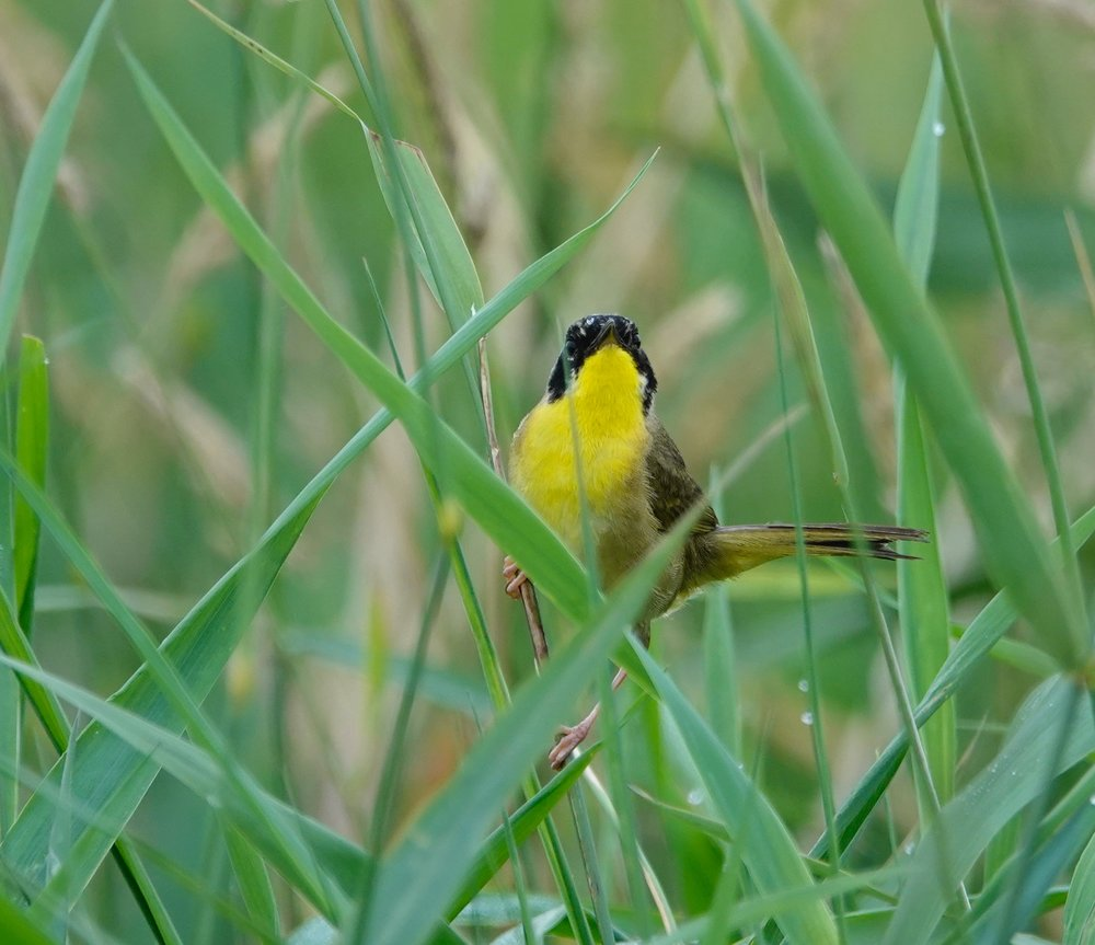How I typically see a common yellowthroat that is seeing me.