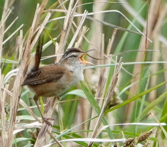 A marsh wren has been called the Heinz 57 Varieties Bird because of the many variations of its song.