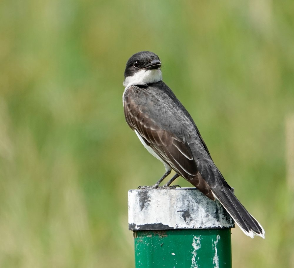 I heard someone refer to the eastern kingbird as a bee martin.