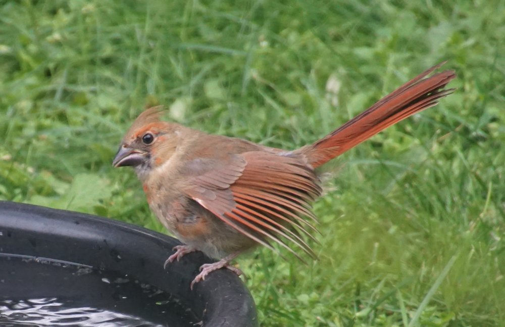 A young cardinal has a black bill. Adults have red-orange bills.