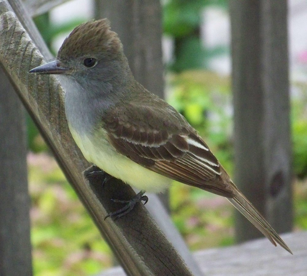 A great crested flycatcher sometimes weaves a snakeskin, onion skin, cellophane or plastic wrapper into its nest.