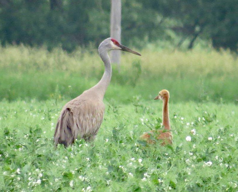Sandhill crane and colt.