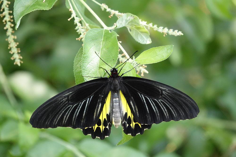 The common birdwing is an Asian butterfly that can be found at Reiman Gardens in Ames, Iowa.