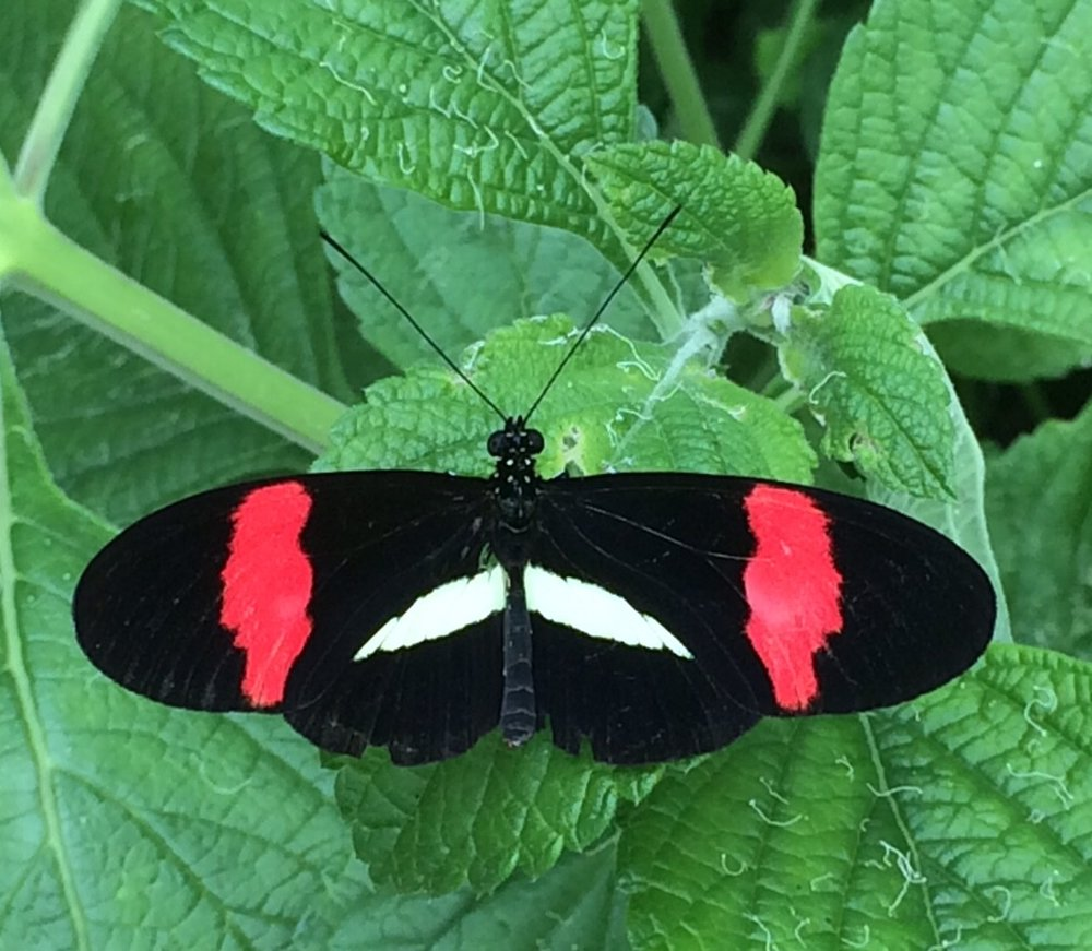The crimson-patch longwing (red postman) can be found in southern Texas.