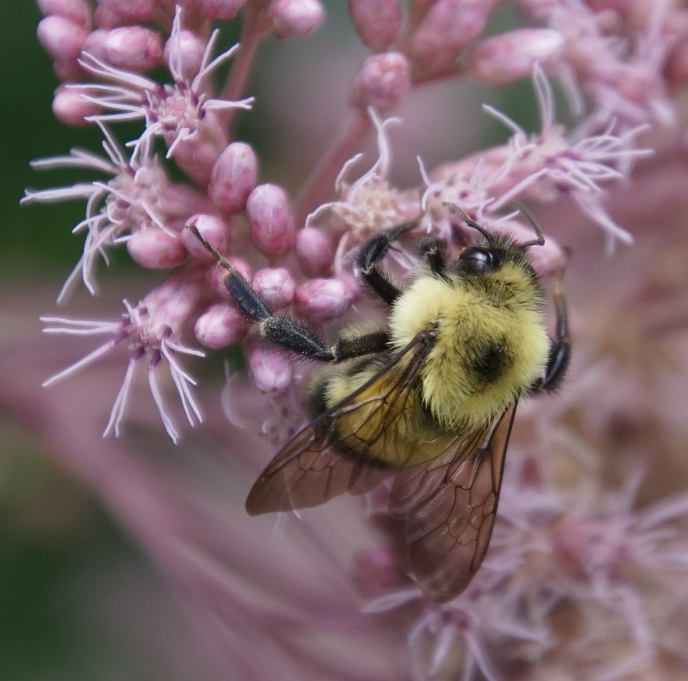 Bumblebees have longer antennae than the flies that mimic them.
