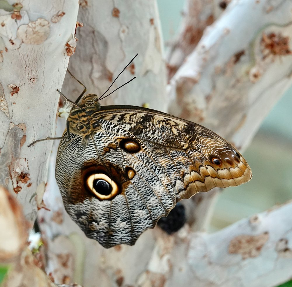 Owl butterflies are crepuscular— active at dawn and dusk.