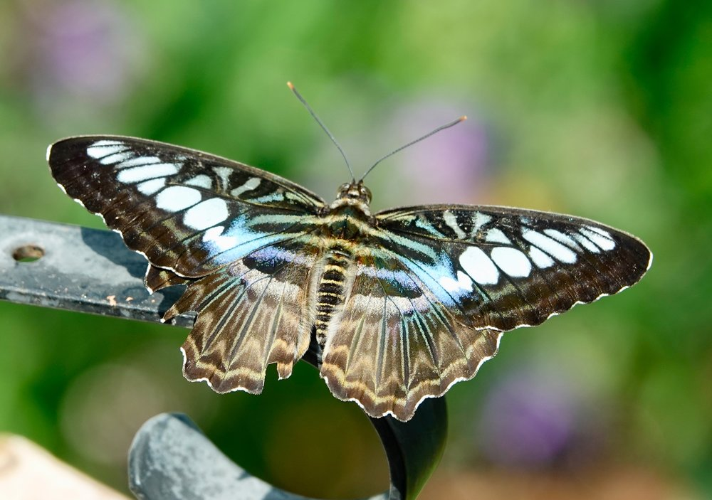 An Australian butterfly called a clipper.