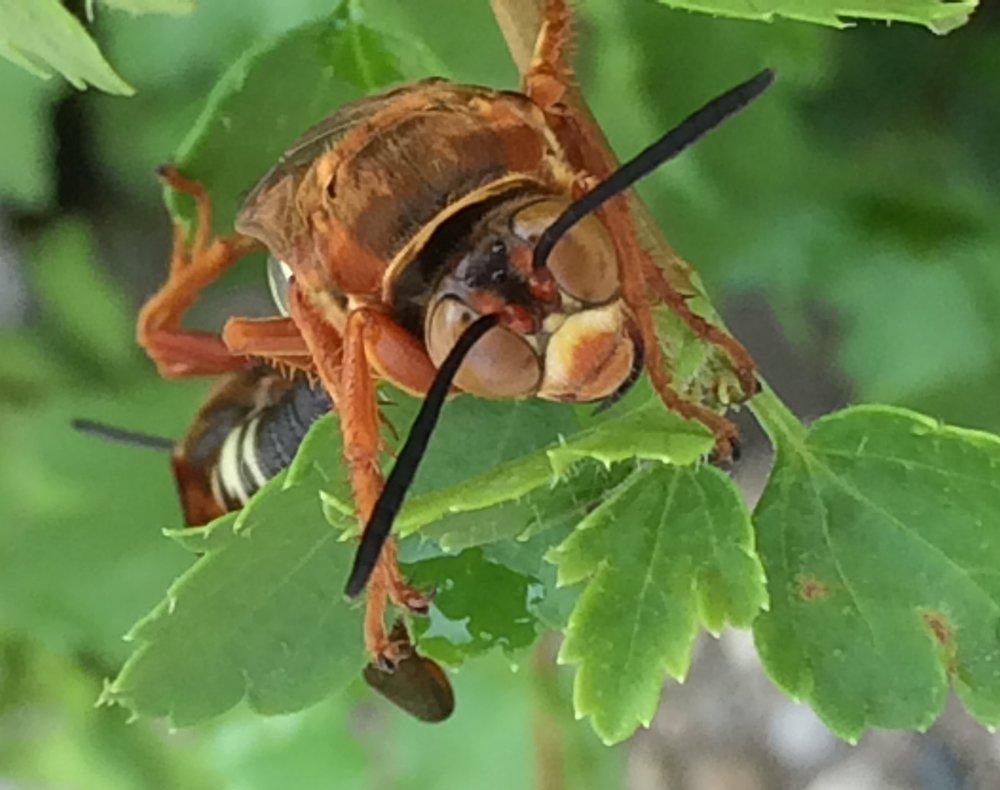 The smile of a cicada killer.