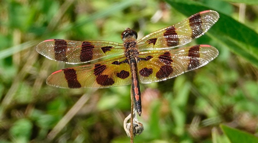 A Halloween pennant. A dragonfly with the look of a butterfly.