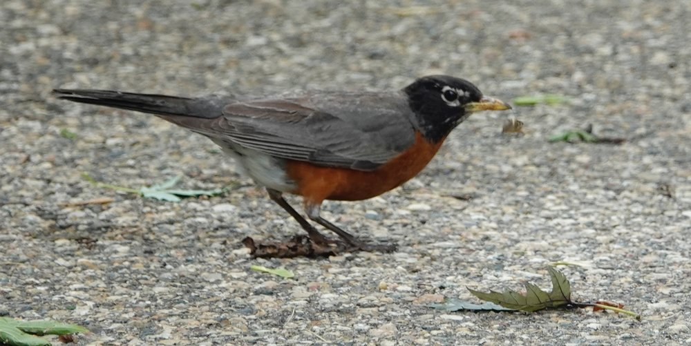 There is a beauty to the American robin that too easily goes unnoticed.