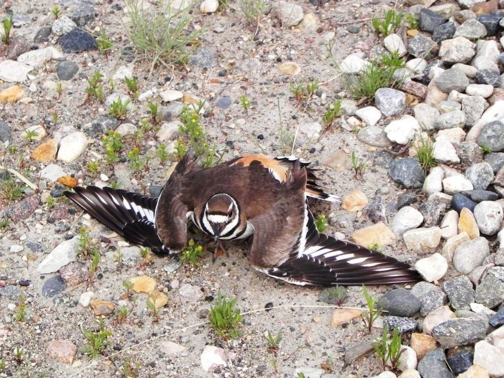 You are under good wings with killdeer insurance.
