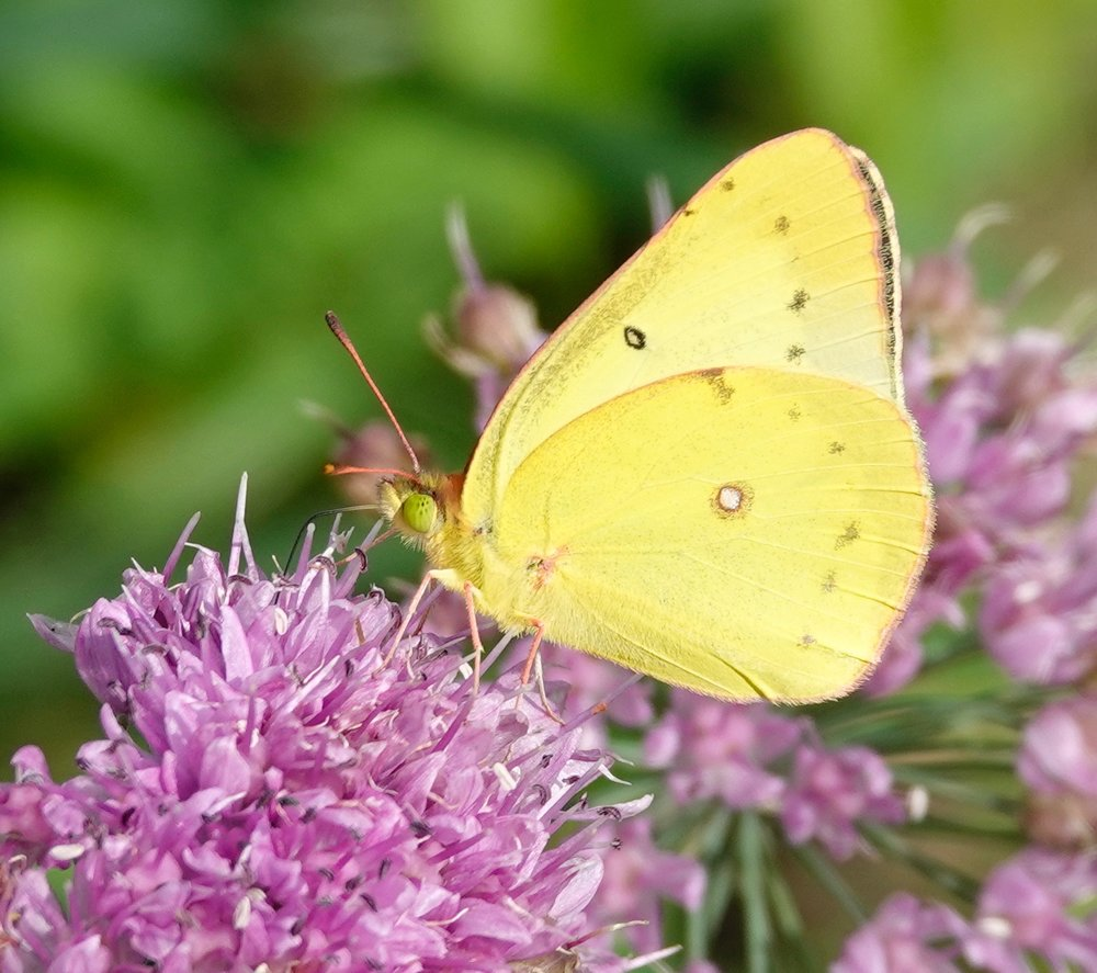 This sulphur butterfly is keeping an eye out for a better flower.