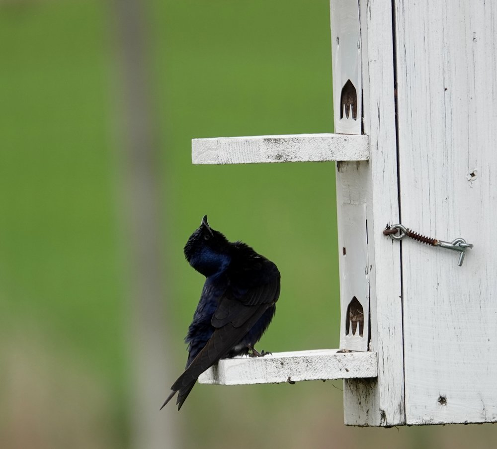 A purple martin waits to use the restroom.