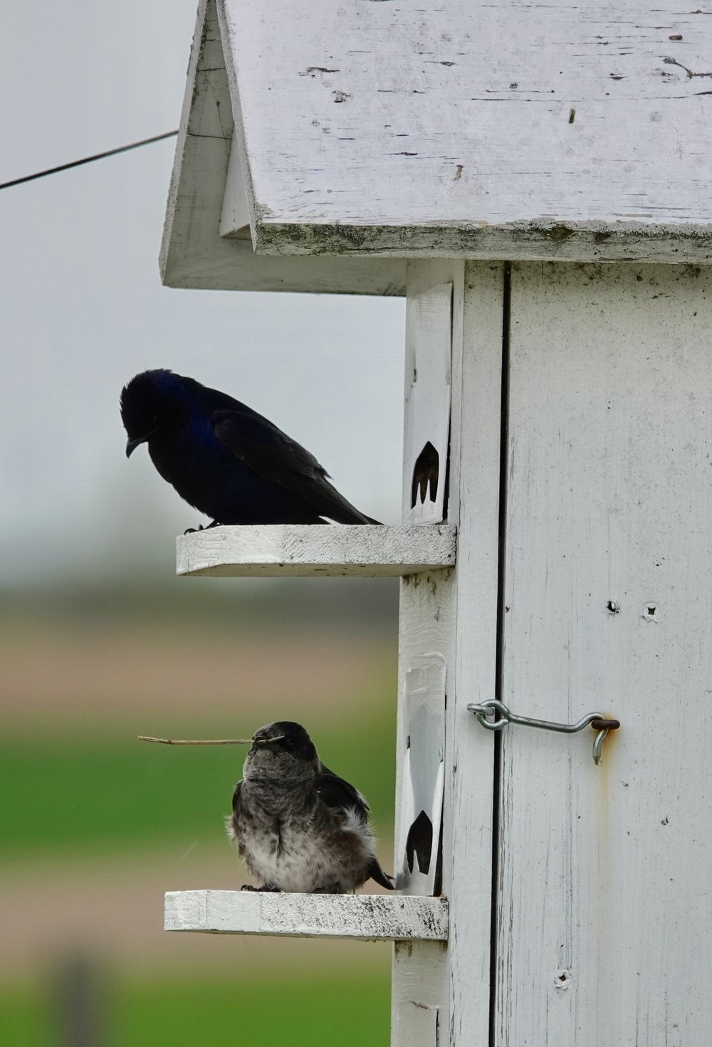 Purple martins returning to the nest after shopping at IKEA.