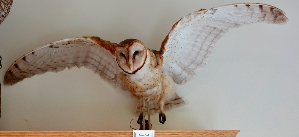 In homage to the barn owl. Displayed at the wonderful Water's Edge Nature Center in Algona, Iowa.