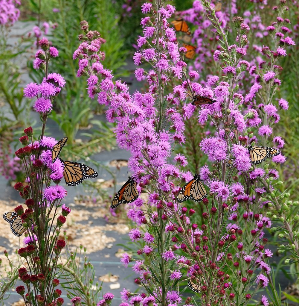 Dustin Demmer grows meadow blazing star plants, much to the delight of monarch butterflies.