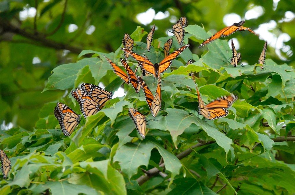 A kaleidoscope of monarch butterflies on the Jerry Demmer Farm.