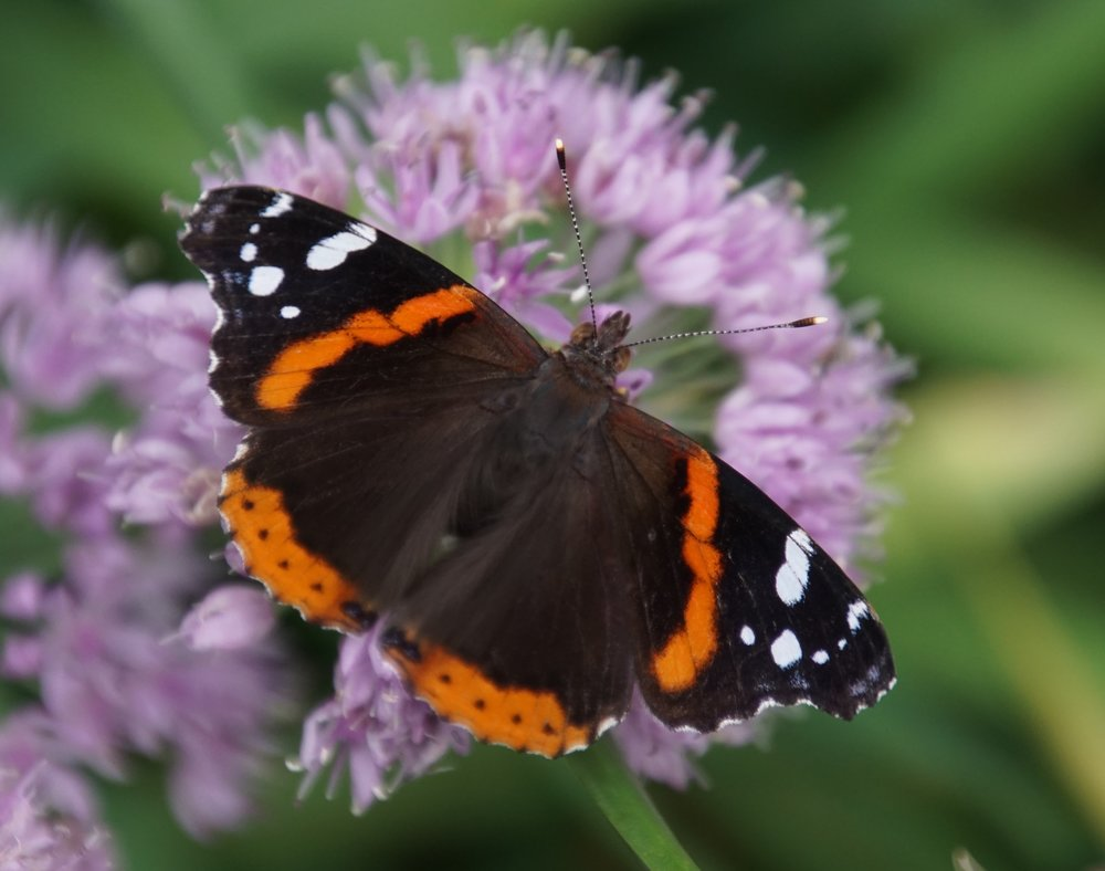 "The name red admiral is a corruption of the ""red admirable"" moniker given to this butterfly by early naturalists. Perhaps it should have been the ""orange admirable."""