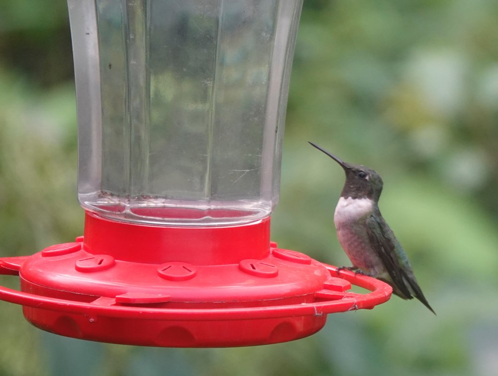 This hummingbird looked as if it had at least 942 feathers. Al Batt/Albert Lea Tribune