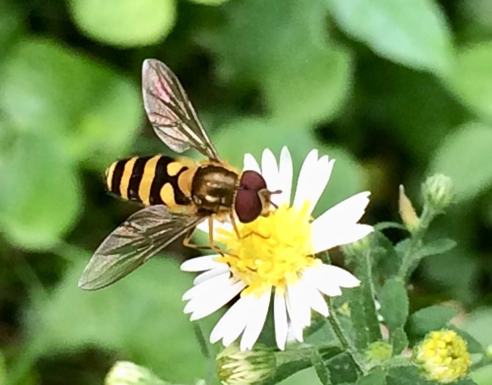 A flower fly or hover fly with a flower, but without a hover.