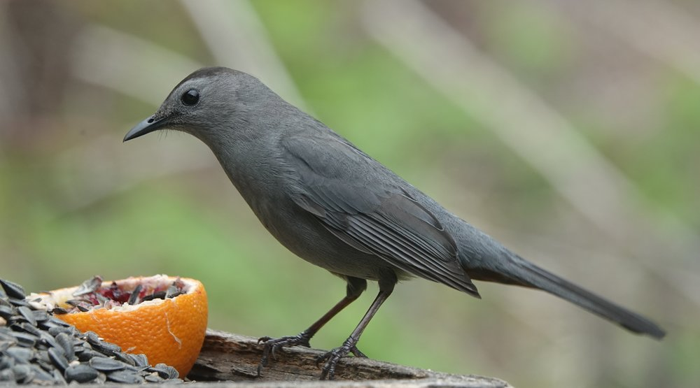 The gray catbird mimics cats, Rich Little, and Frank Caliendo.