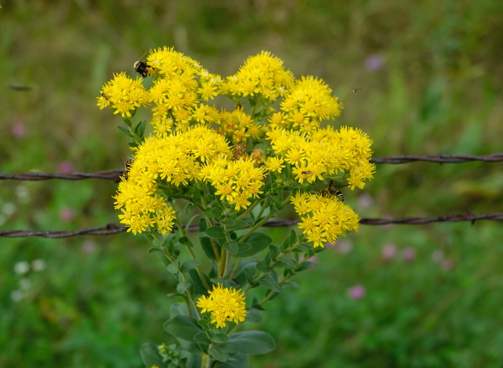 Goldenrod receives blame for hay fever suffering, but is innocent. It's pollinated by insects, not wind. It blooms at the same time as does the major culprit, ragweed.