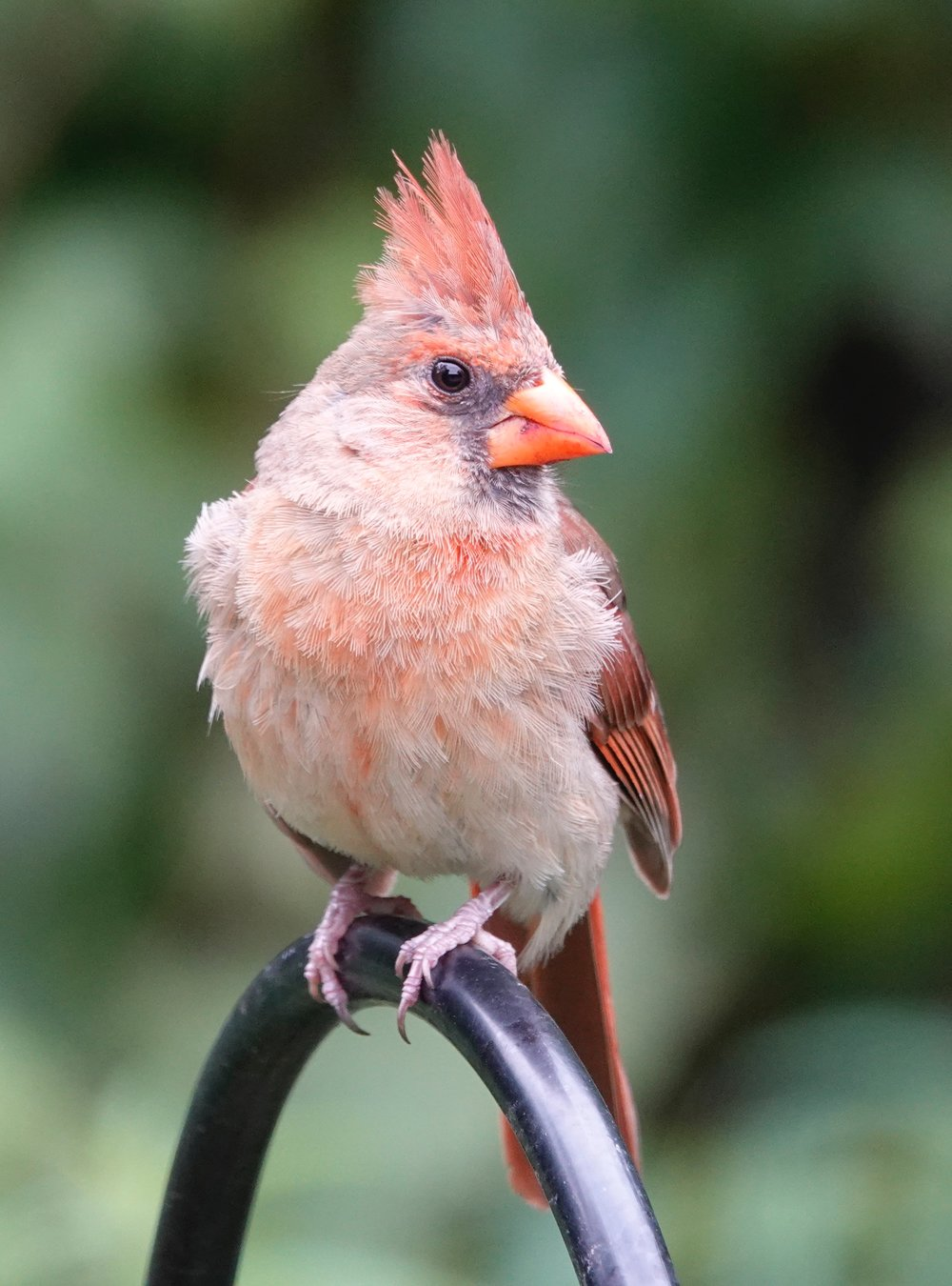 Native American lore holds that if you see a cardinal, you can expect good luck in 12 hours or 12 days.