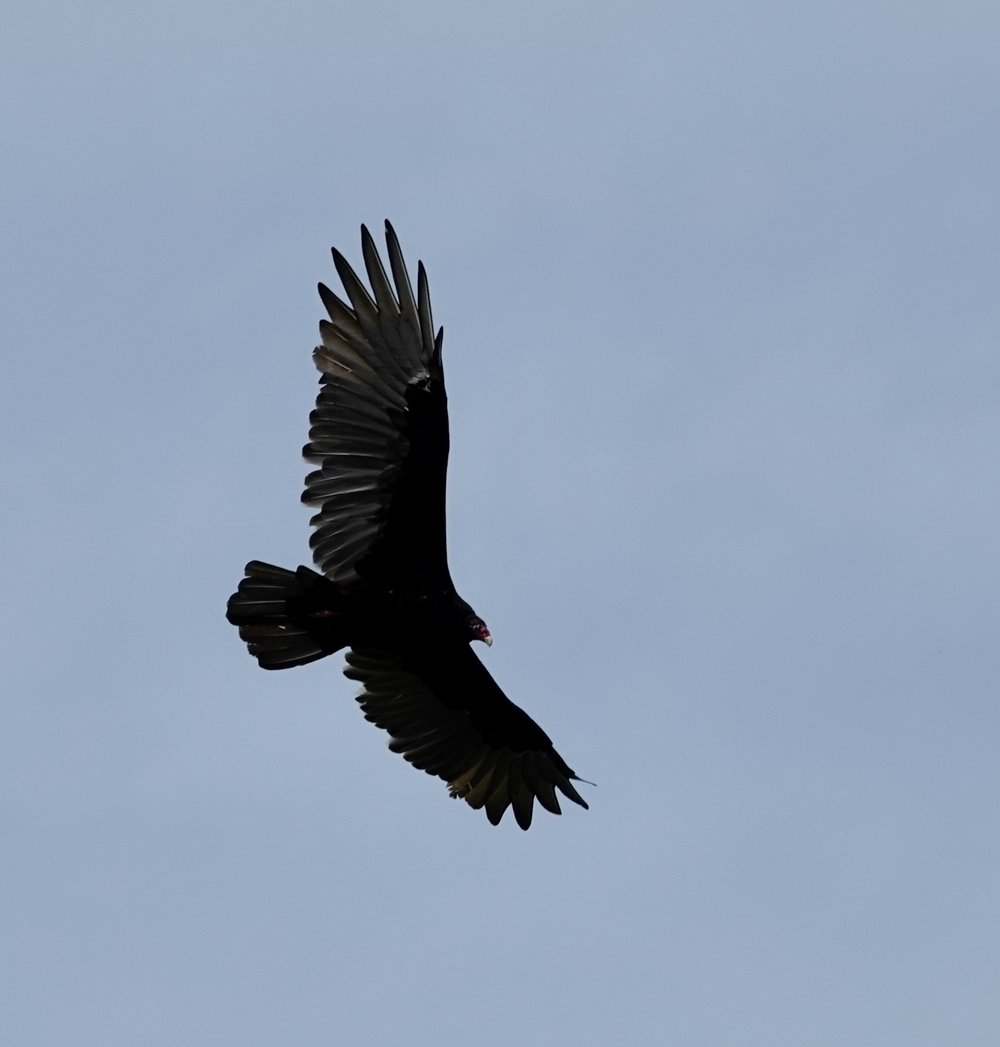 A turkey vulture in the midst of an aerial ballet.