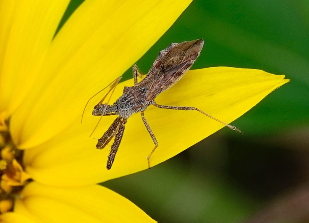 An assassin bug is a stealthy hunter.