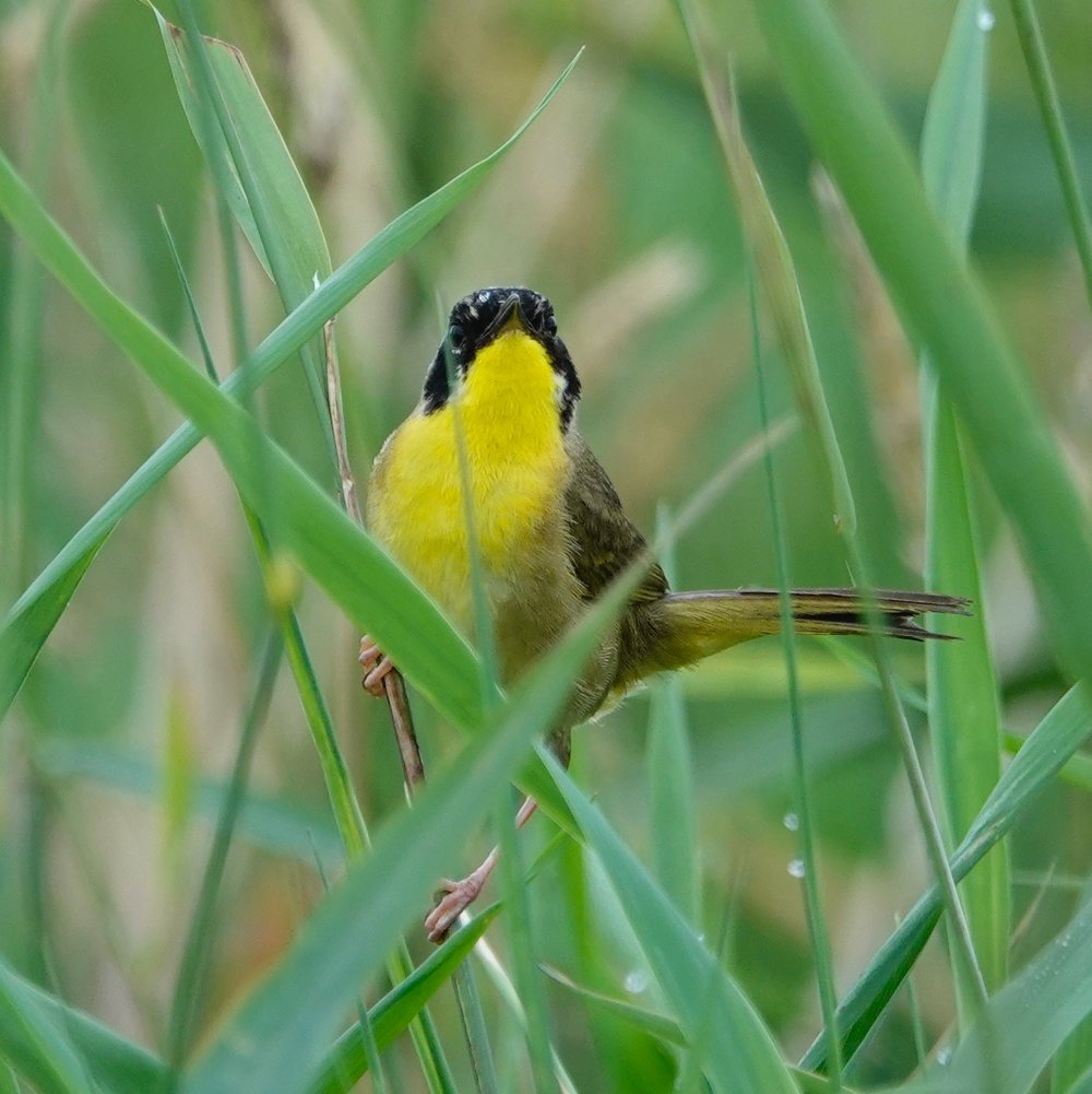 a common yellowthroat kept his eyes on me this summer.