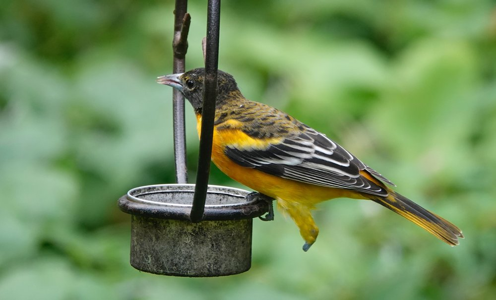 This one-legged Baltimore oriole gets its kicks at a jelly feeder.