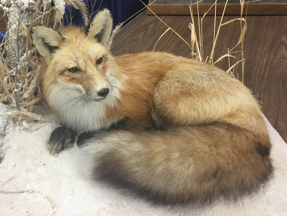 This red fox, a taxidermist's work displayed at a county fair, shows its diagnostic white-tipped tail.