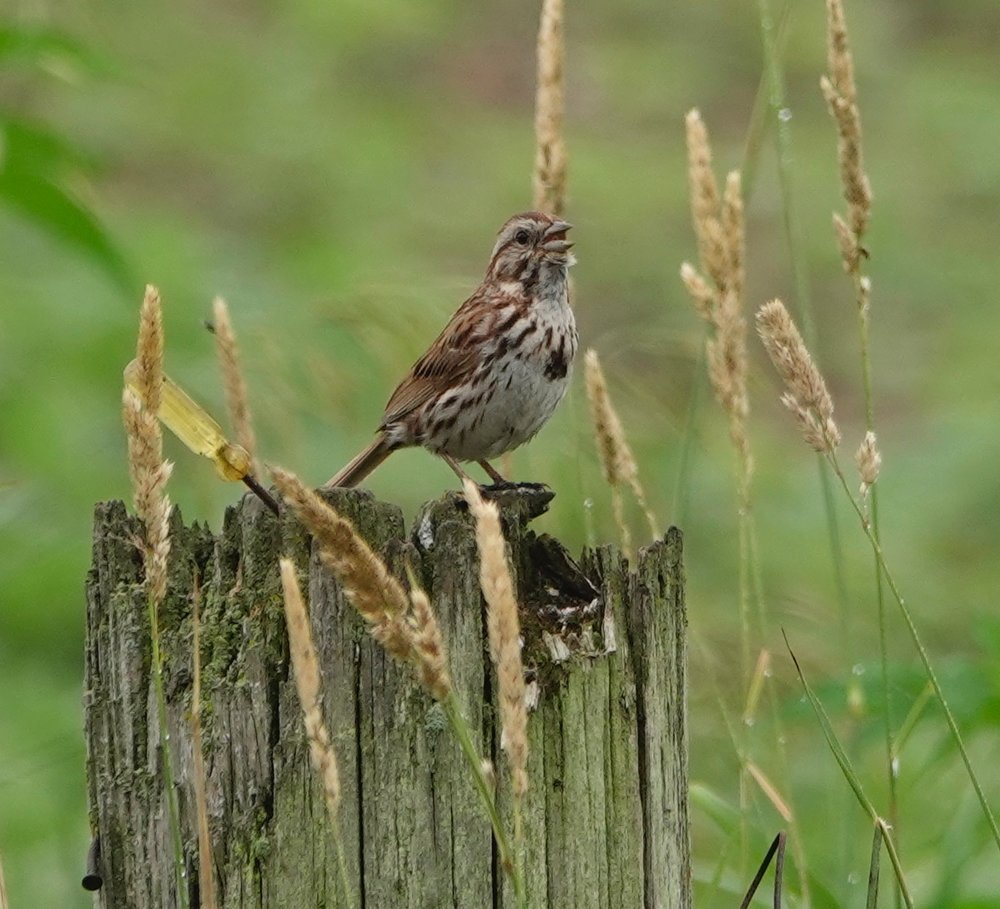 "The song sparrow is a persistent and lovely singer. A mnemonic for its song is ""maids, maids, maids, put on your tea kettle-kettle-kettle."""