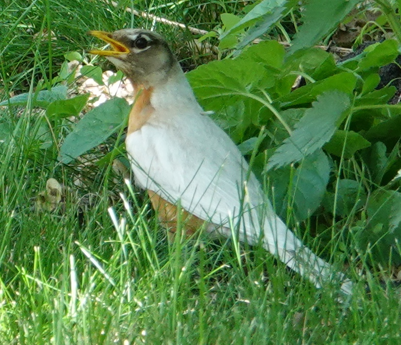 This leucistic American robin tried to hide from me in Rapidan, Minnesota.