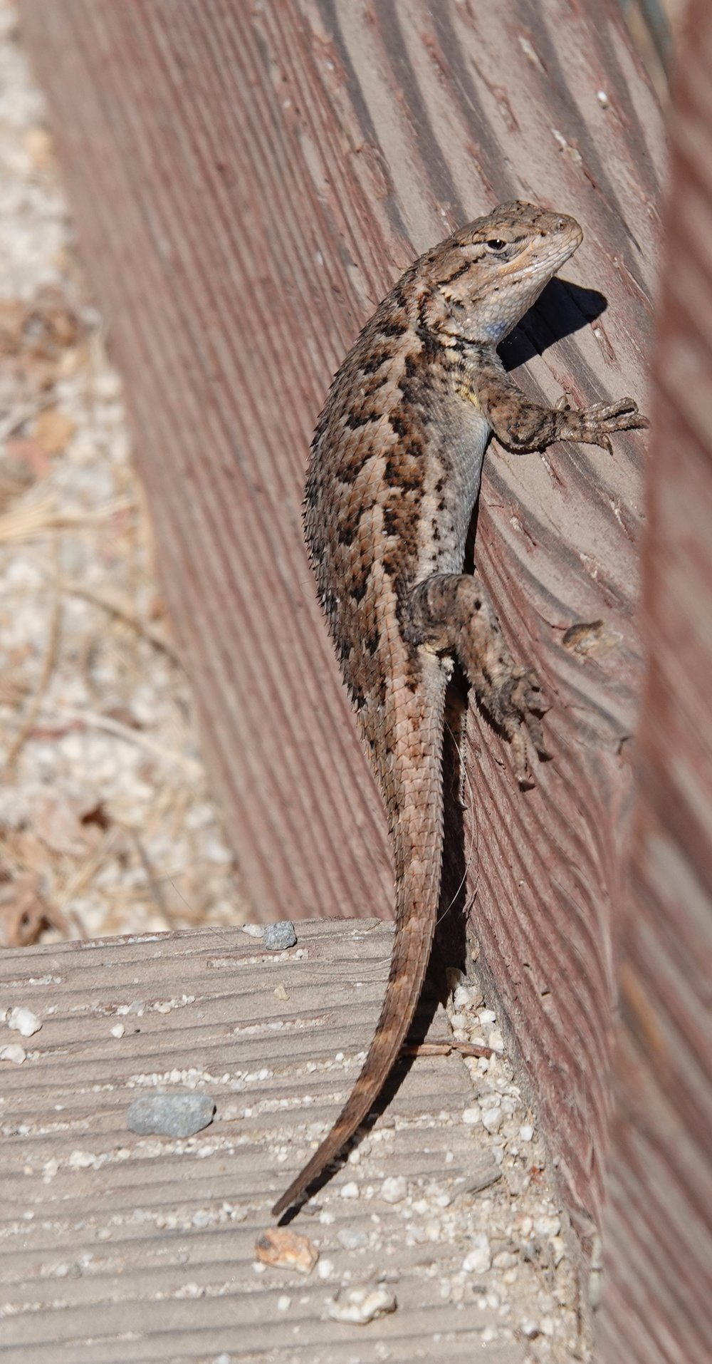 I encountered this western fence lizard on a fence in Napa, California.