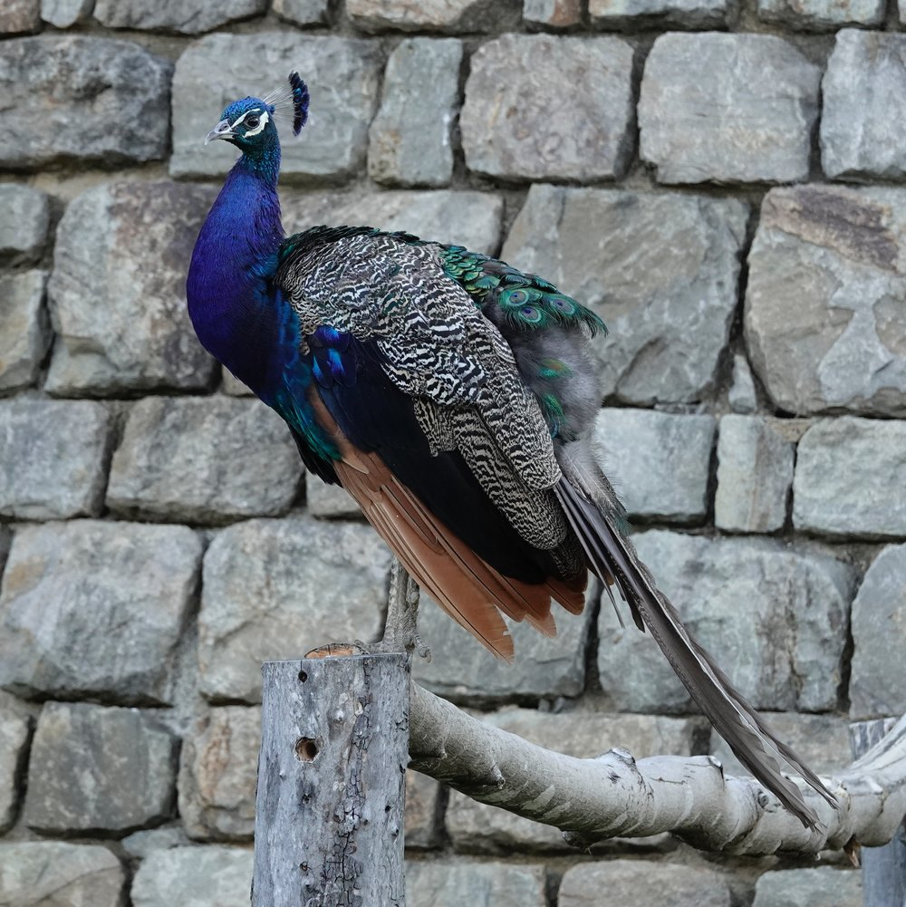 A peacock is a male peafowl. The female is a peahen. Our peafowl used to stalk our auxiliary dog.