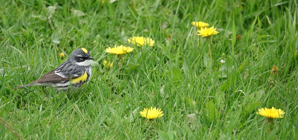 A yellow-rumpled warbler found comfort with the dandelions.